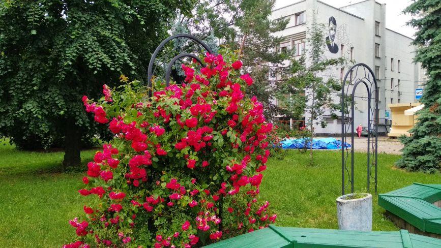 У Житомирі після злив розквітли троянди