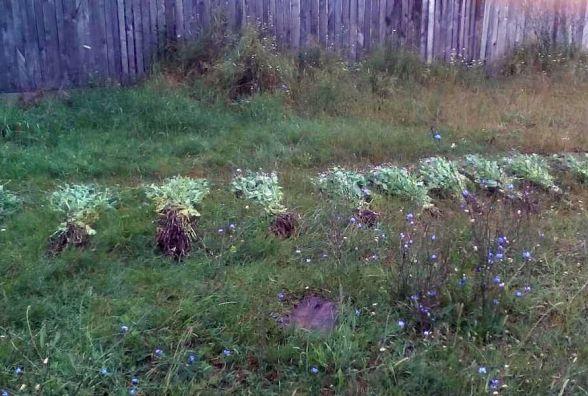 Нарковмісний урожай: на Житомирщині поліцейські вилучили з городів 4, 5 тисячі рослин снодійного маку