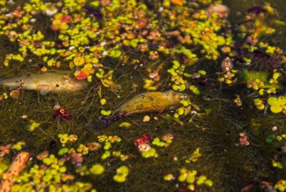 Поблизу Житомира у річці Тетерів масово гине риба