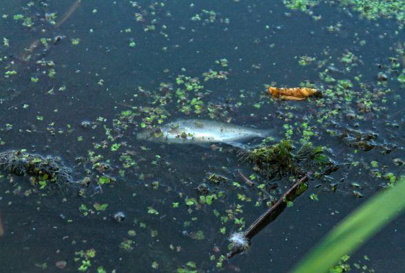У Тетереві продовжує масово гинути риба. ВІДЕО