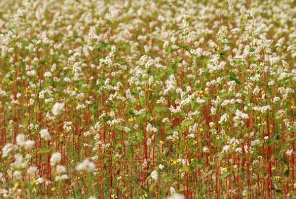Аграрії області отримають відшкодування за посіви гречки