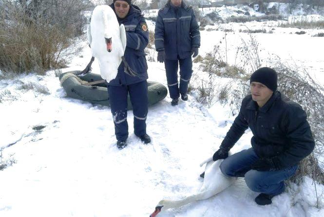 На Житомирщині працівники МНС врятували двох лебедів, що примерзли до криги