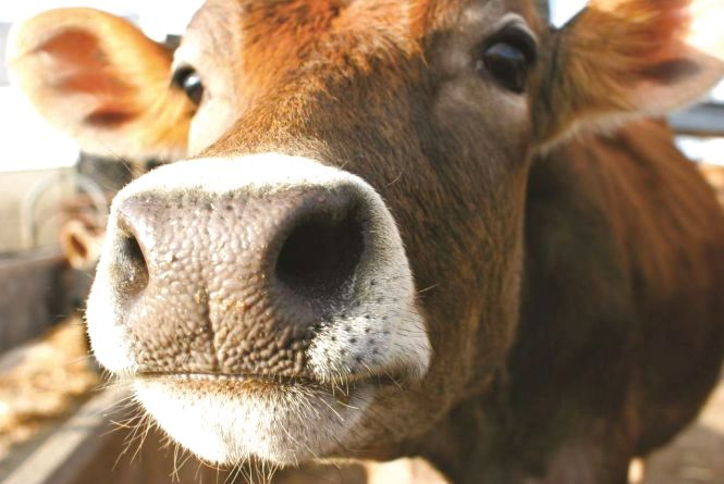 За чисельністю корів Житомирщина п'ята в державі