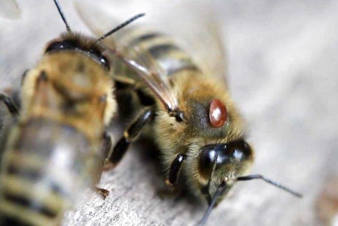 """""""Мертві бджоли не гудуть"""": у селі на Житомирщині за день масово загинули бджоли"""