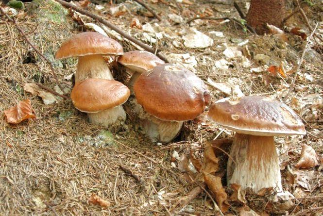 У Бердичівському районі  cім`я із шести осіб опинилася у реанімації через отруєння грибами