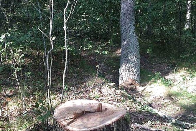 """У Коростенському районі """"чорні"""" лісоруби зрізали три столітні дуби"""