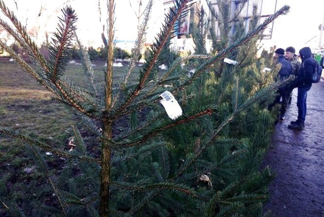 Лісгоспи Житомирщини реалізували 37,5 тис. новорічних ялинок