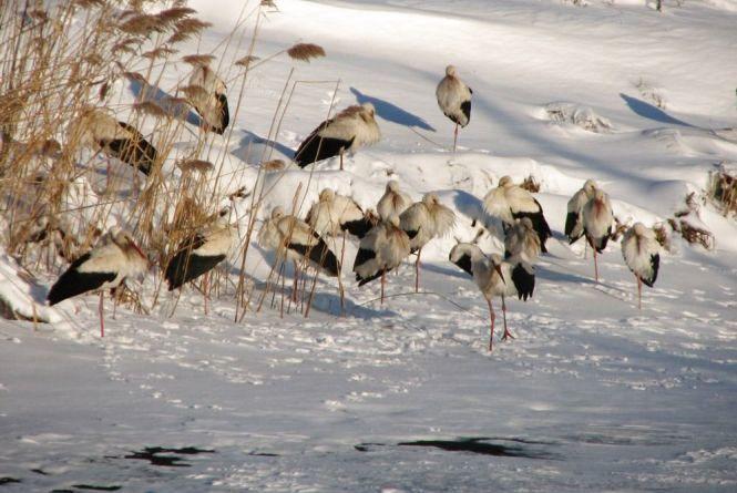 У Житомирі на Крошні помітили замерзаючих лелек