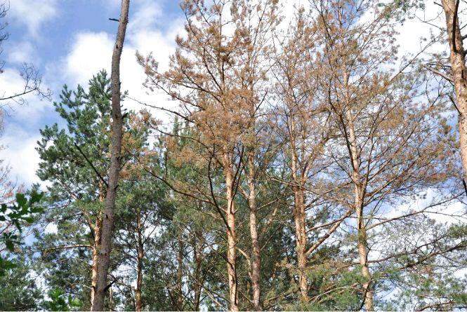 На Житомирщині масово гинуть ліси: проблема потребує негайного вирішення