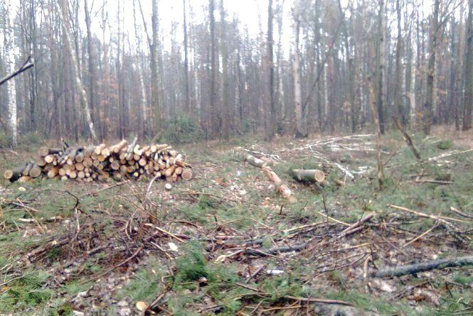 Під Житомиром незаконно вирізають ліс і труять людей