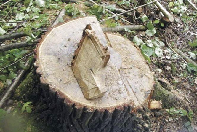 «Чорного» лісоруба за п'ять зрізаних дубів засуджено до двох років позбавлення волі умовно