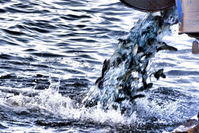 У житомирське водосховище запустять близько 7 тонн риби