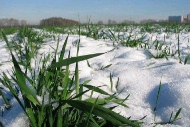 Аграрії Житомирщини озвучили сприятливі прогнози: 76% озимини - у доброму стані