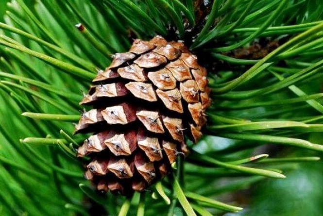 В шишкосушарні Житомирського лісгоспу цієї зими вже перероблено понад 2 тонни шишок
