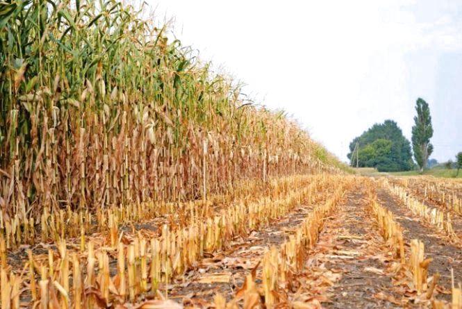 Підприємство у Новоград-Волинському районі самовільно зайняло майже 130 га земель і вирощувало на них кукурудзу і  гарбузи