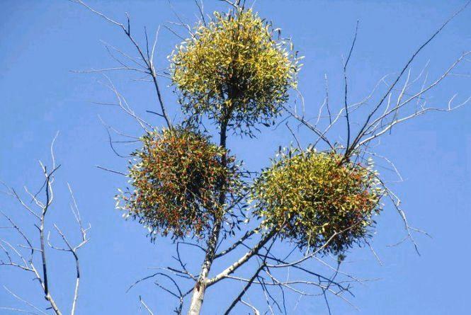 Житомиряни стурбовані станом дерев в місті і просять владу вжити заходів
