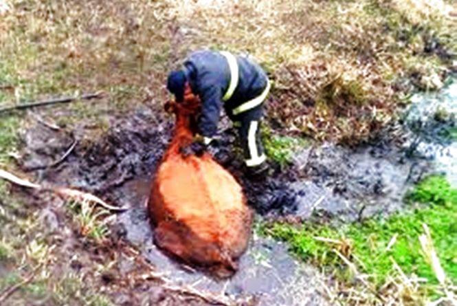 У Коростенському районі корова ледь не втопилась у болоті: допомогли рятувальники