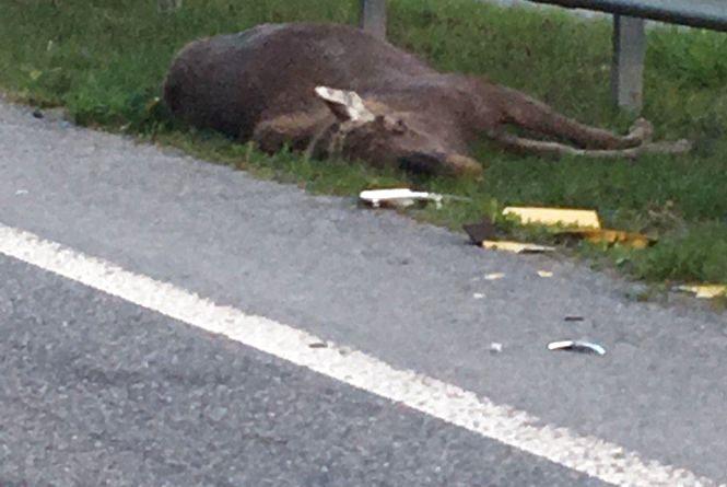 Через раптову появу лося на дорозі у Новоград-Волинському районі сталося ДТП з смертельними наслідками