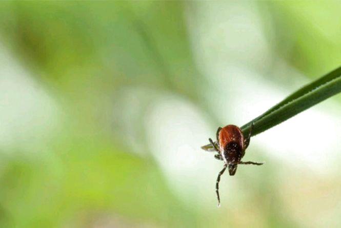 Увага: на Житомирщині зростає захворюваність на бореліоз
