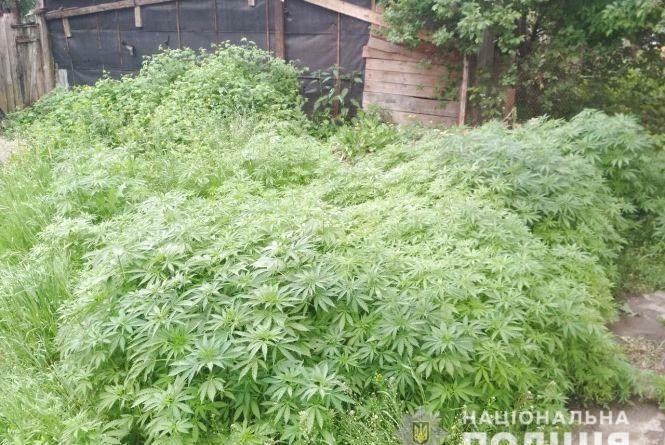 У Коростишеві поліцейські ліквідували конопляну плантацію: вилучили майже 8 тисяч рослин коноплі