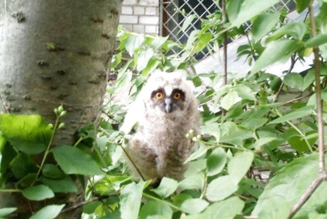 Небайдужі житомиряни врятували життя пташеняті сови