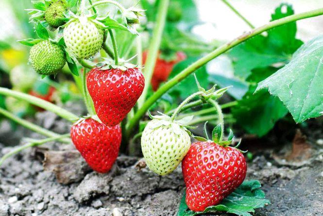 Щороку Житомирщина вирощує все більше полуниці