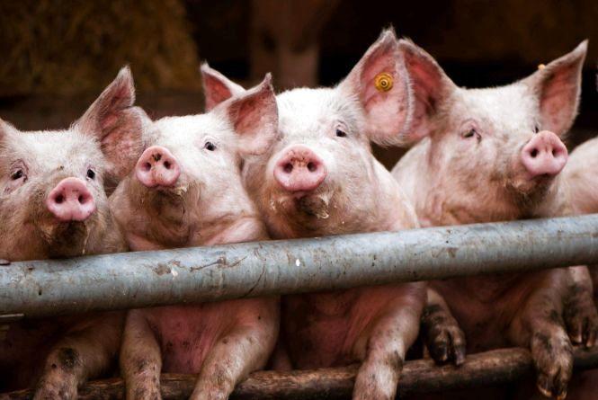 На Житомирщині за 5 років зафіксовано лише 7 спалахів африканської чуми свиней