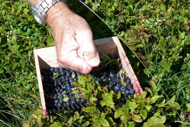 Збираючи лісові ягоди, пам'ятайте про їх можливе радіаційне забруднення