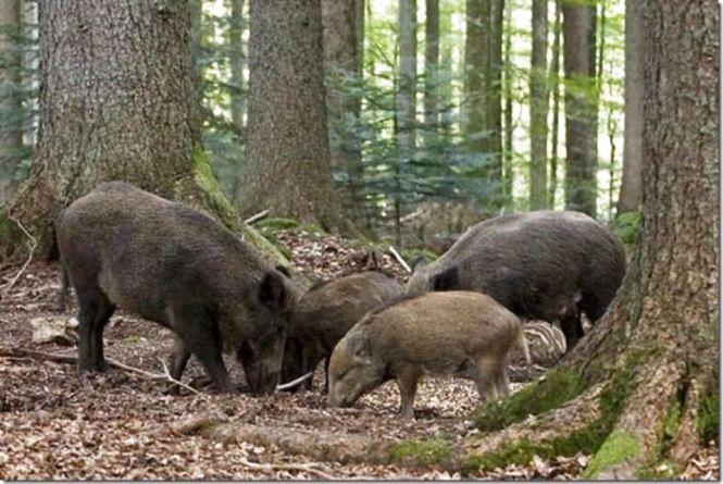 В Олевському районі виявили випадок захворювання на африканську чуму свиней