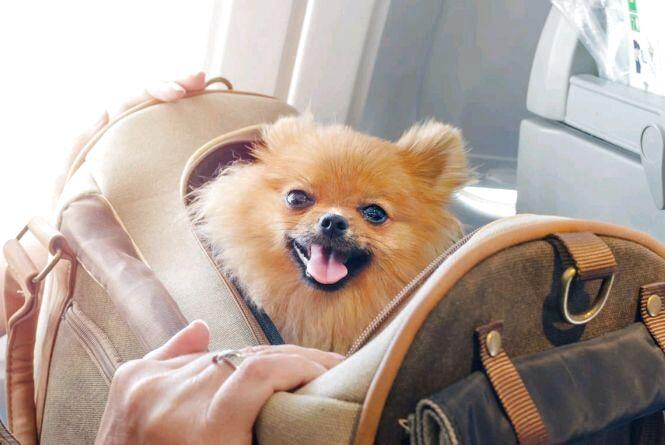 З 1 серпня міжнародні перевезення домашніх тварин здійснюються виключно за паспортами встановленого зразка