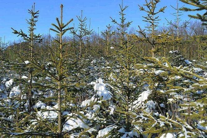 На Бердичівщині до свят вирощують 42 гектари новорічних ялинок