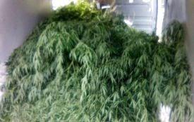 У жителів Житомирського та Овруцького районів поліцейські вилучили врожаї коноплі
