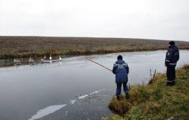 Рятувальники допомогли лебедям, які запізнилися у вирій
