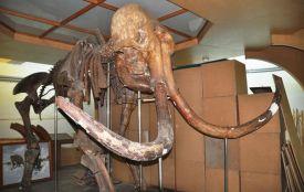 Славнозвісного житомирського мамонта переселять у будівлю магістрату